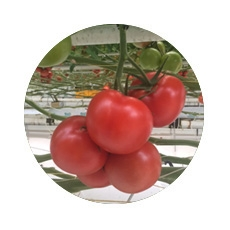 Tom d'Aqui feedback Optiplant tomatoes