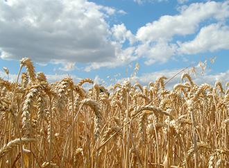 wheat crop fight damage fusarium