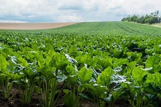 Photo champ production culture bettrave sucre
