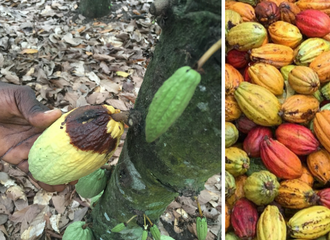 cocoa harvest beans brown rot west africa cote ivoire agrochemicals sustainable solutions